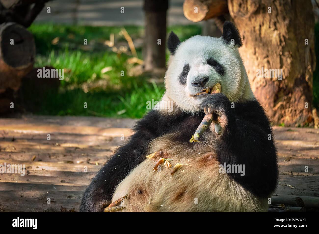 Ours panda géant en Chine Photo Stock