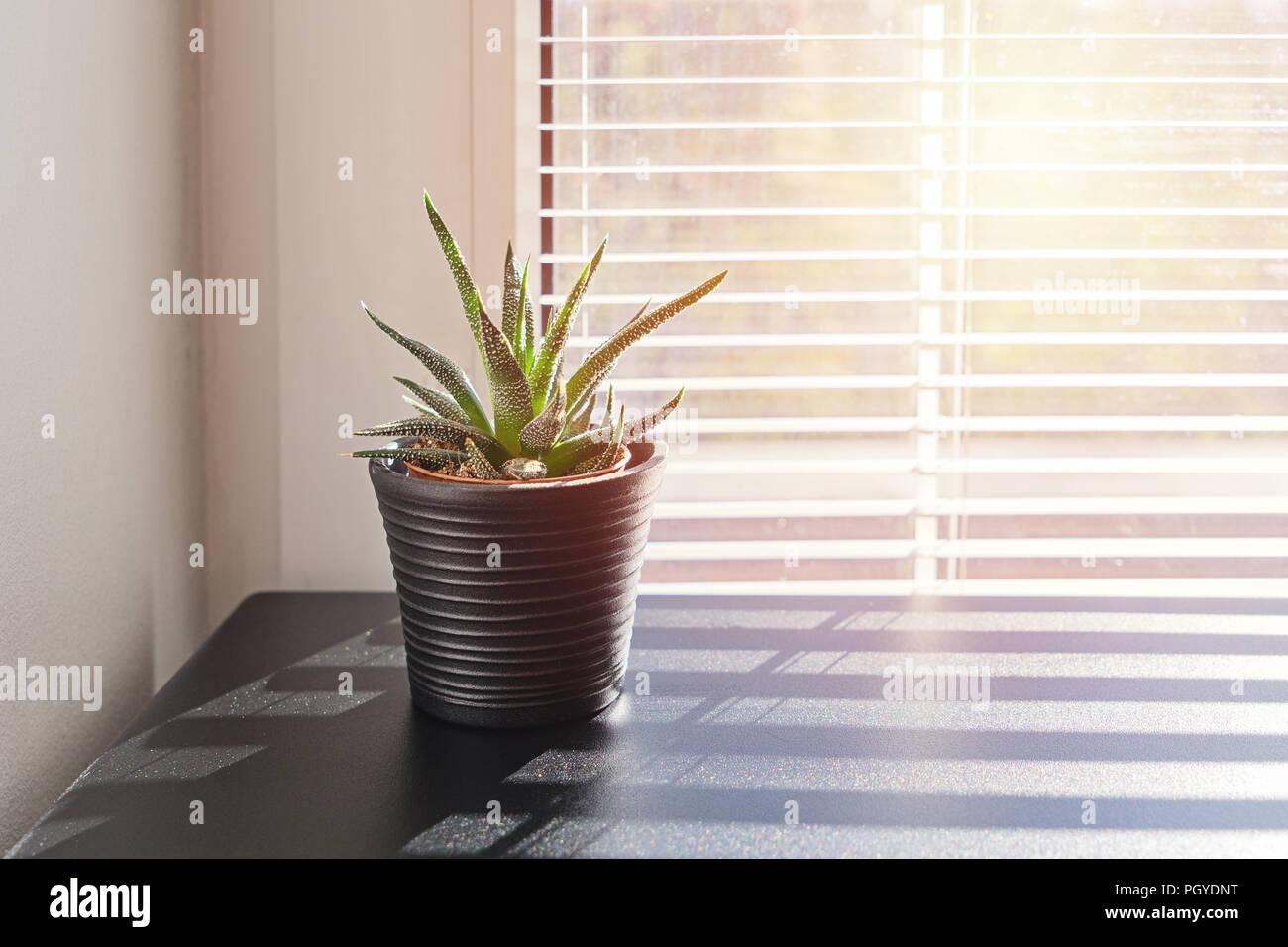 aloe succulentes cactus en petit pot sur fond de fenêtre avec stores