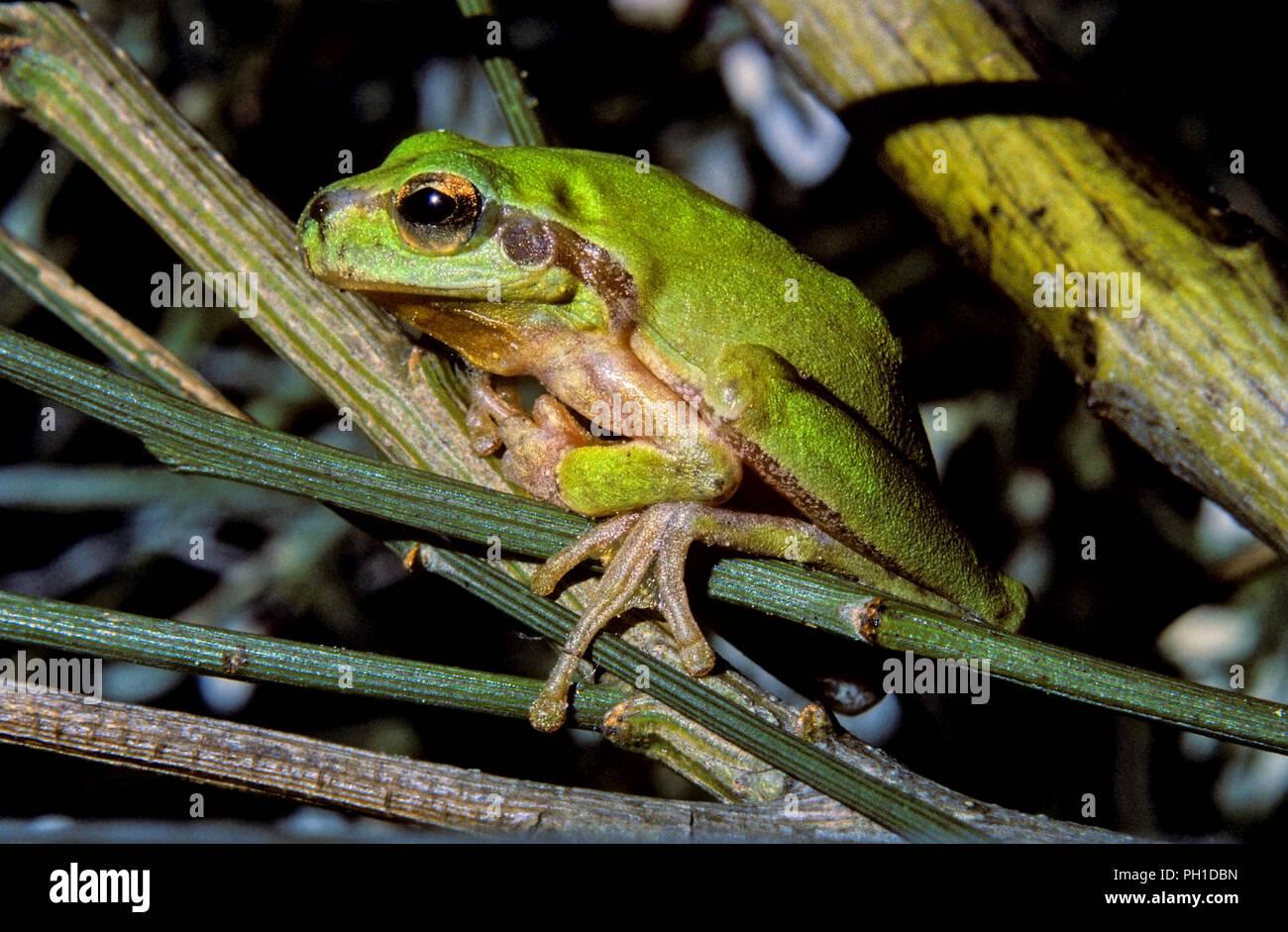 Rainette méditerranéenne ou Stripeless tree frog (Hyla meridionalis). Le sud de l'Espagne. L'Europe Photo Stock