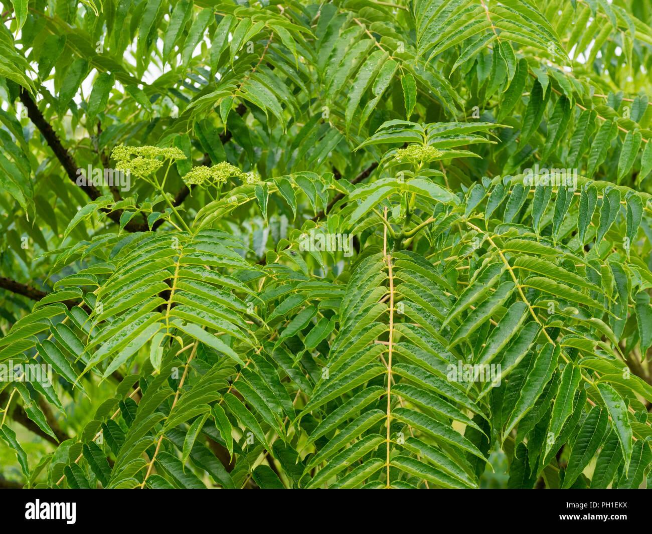Les feuilles pennées et la fin de l'été fleurs de la moitié hardy prickly ash tree, Zanthoxylum ailanthoides Photo Stock