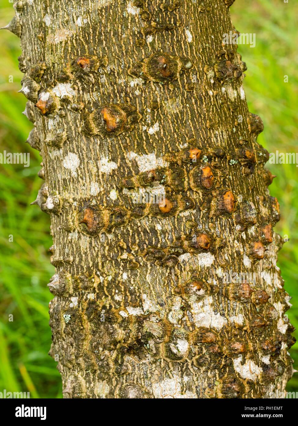 La moitié de l'écorce verruqueuse hardy prickly ash tree, Zanthoxylum ailanthoides Photo Stock