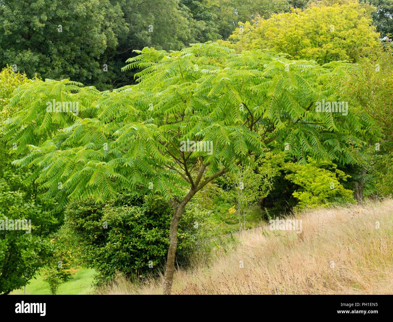 Les feuilles pennées et étalé de la moitié hardy prickly ash tree, Zanthoxylum ailanthoides Photo Stock