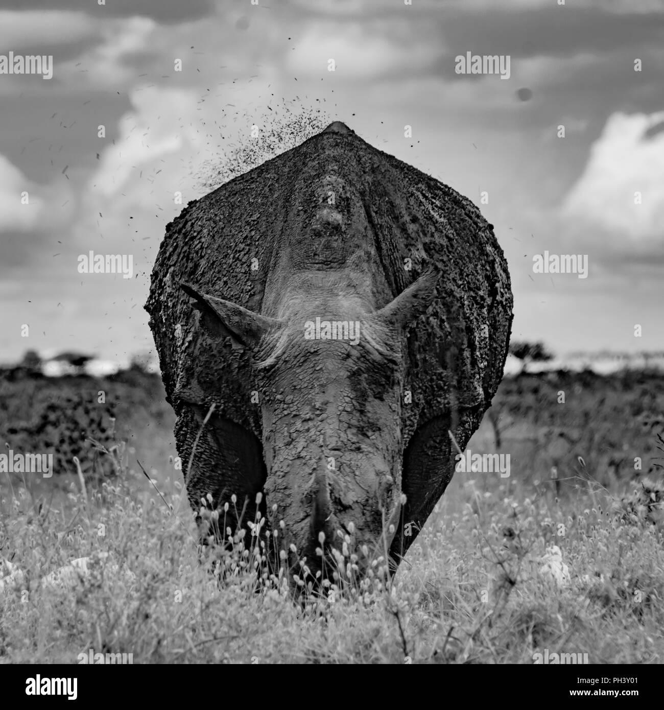Un rhinocéros dans la boue Photo Stock