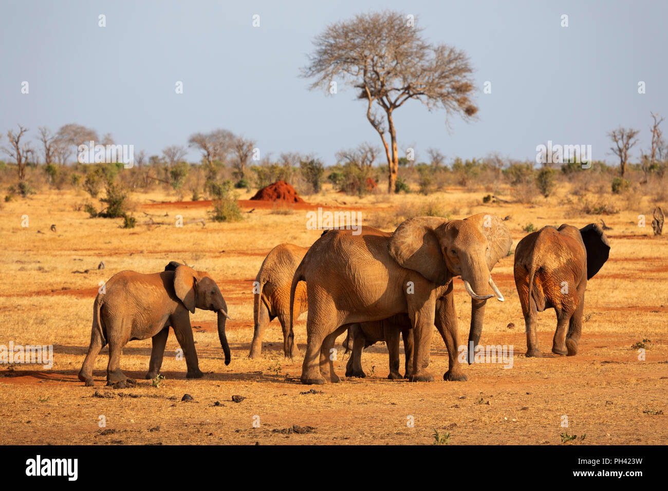 TSAVO EAST NATIONAL PARK, Kenya, Afrique - un troupeau d'éléphants et de veaux traversant la savane sèche avec acacia dans la lumière du soleil du soir Photo Stock