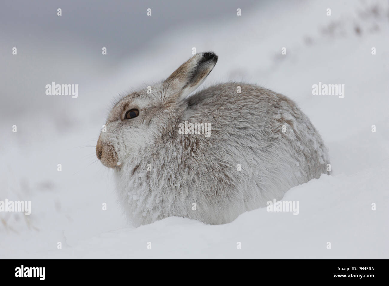 Lièvre variable (Lepus timidus). Des profils en blanc manteau d'hiver (le pelage) dans la neige. Le Parc National de Cairngorms, en Écosse Photo Stock