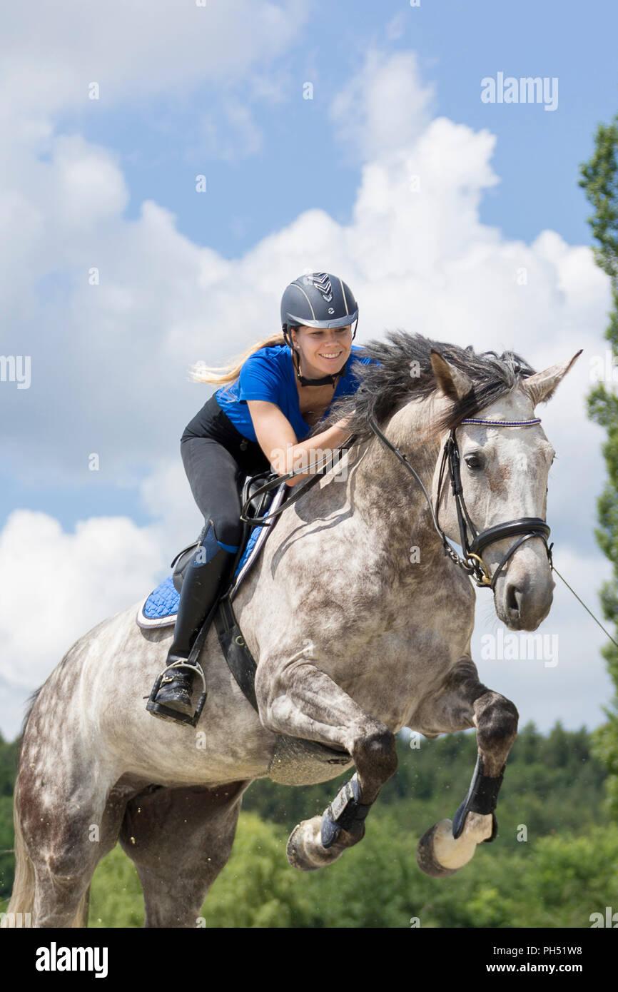 Warmblood autrichien. Jument grise avec cavalier sautant par dessus un obstacle. L'Autriche Photo Stock