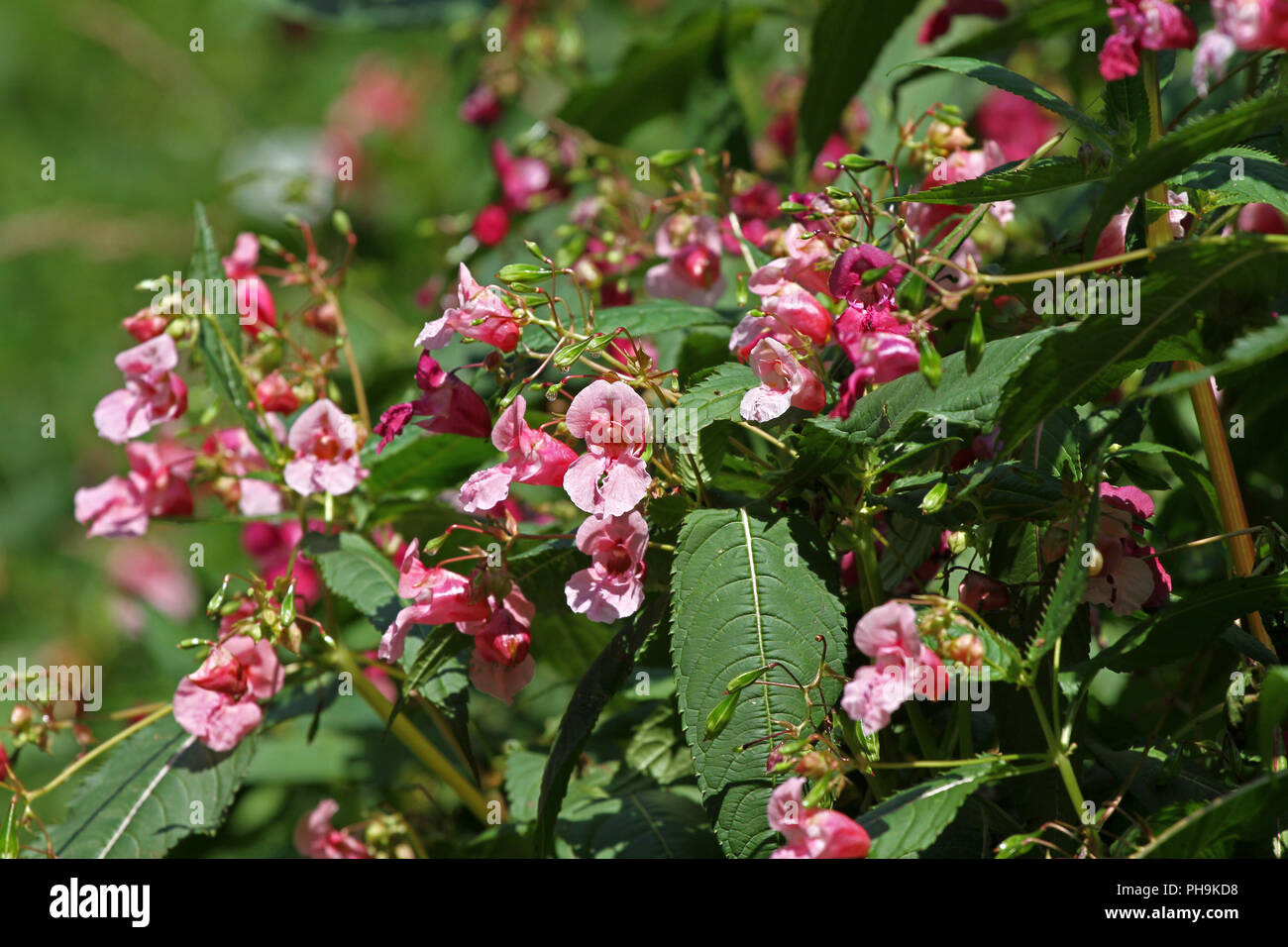 Impatiens glandulifera, Jewelweed, Balsamine de l'Himalaya dans le jardin. Impatiens glandulifera bush fleurs piscine dans la nature. Motif floral. Fleurs backg Banque D'Images