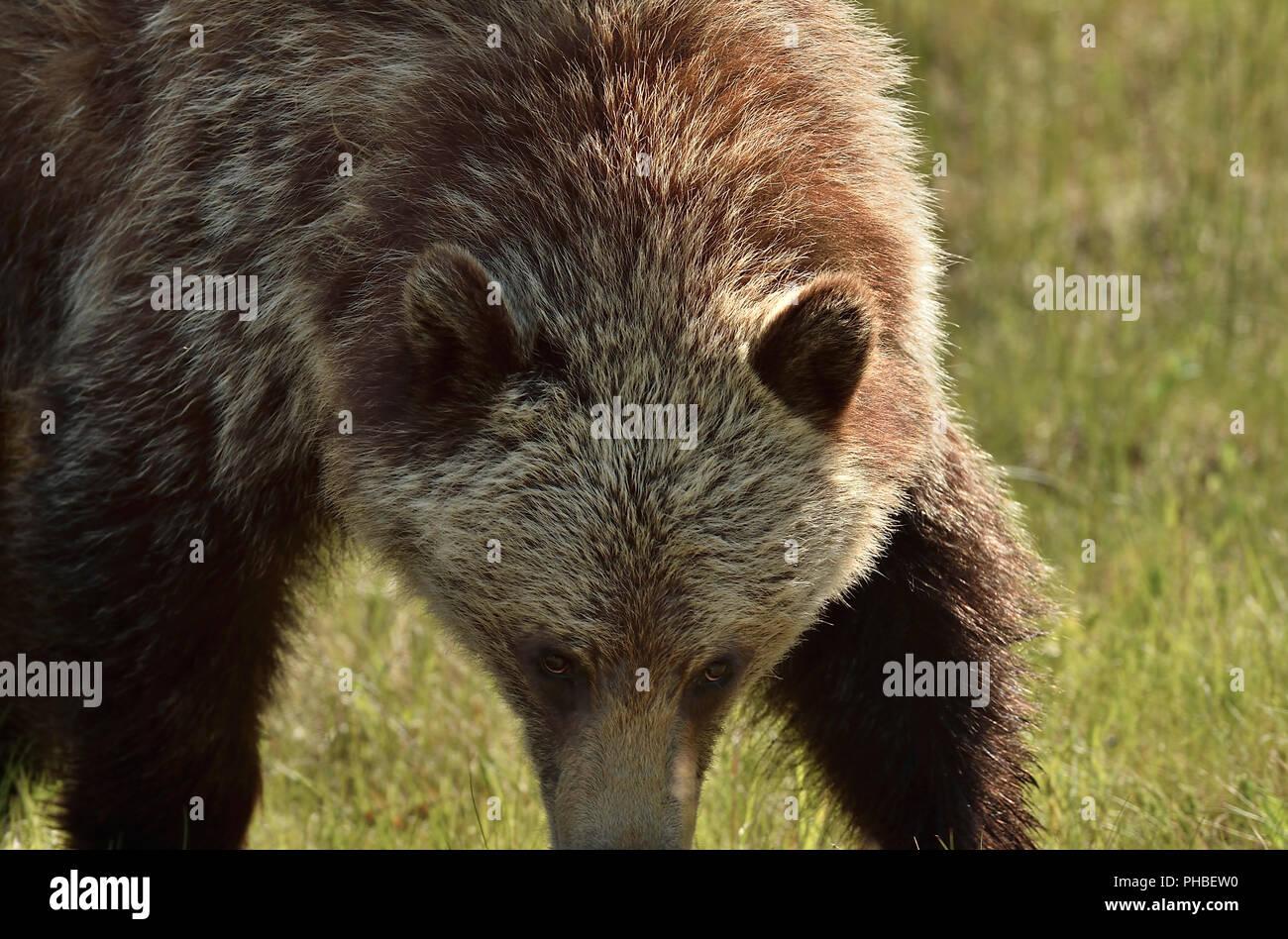 Un close up image d'un grizzli (Ursus arctos), à marcher de l'avant avec la tête vers le bas dans une intimidation Photo Stock