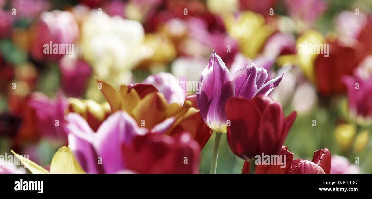 Saison printemps coloré tulipes Photo Stock
