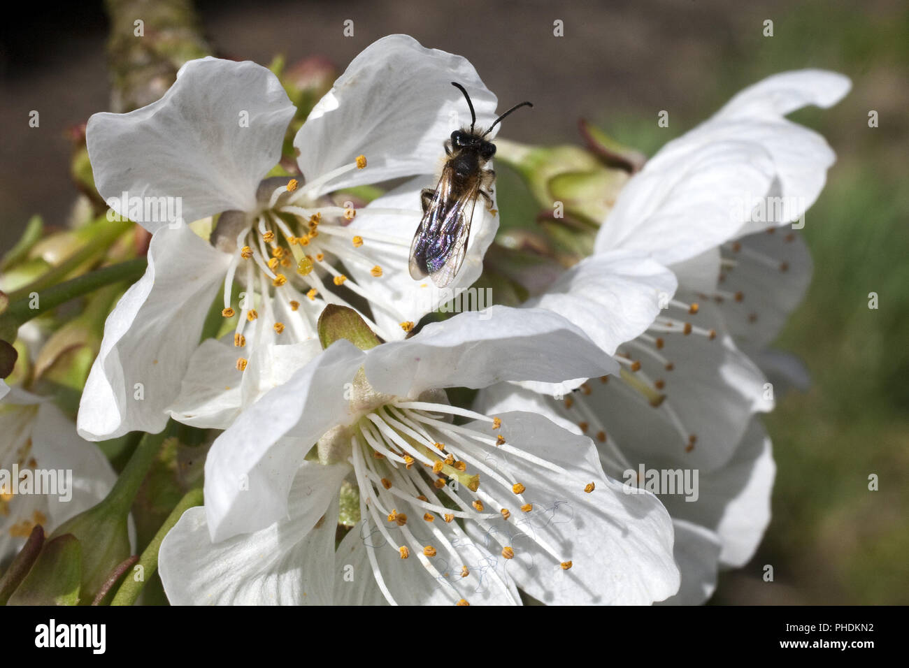 L'abeille sauvage, sauvage, de l'abeille (Apoidea), sur blossom Photo Stock