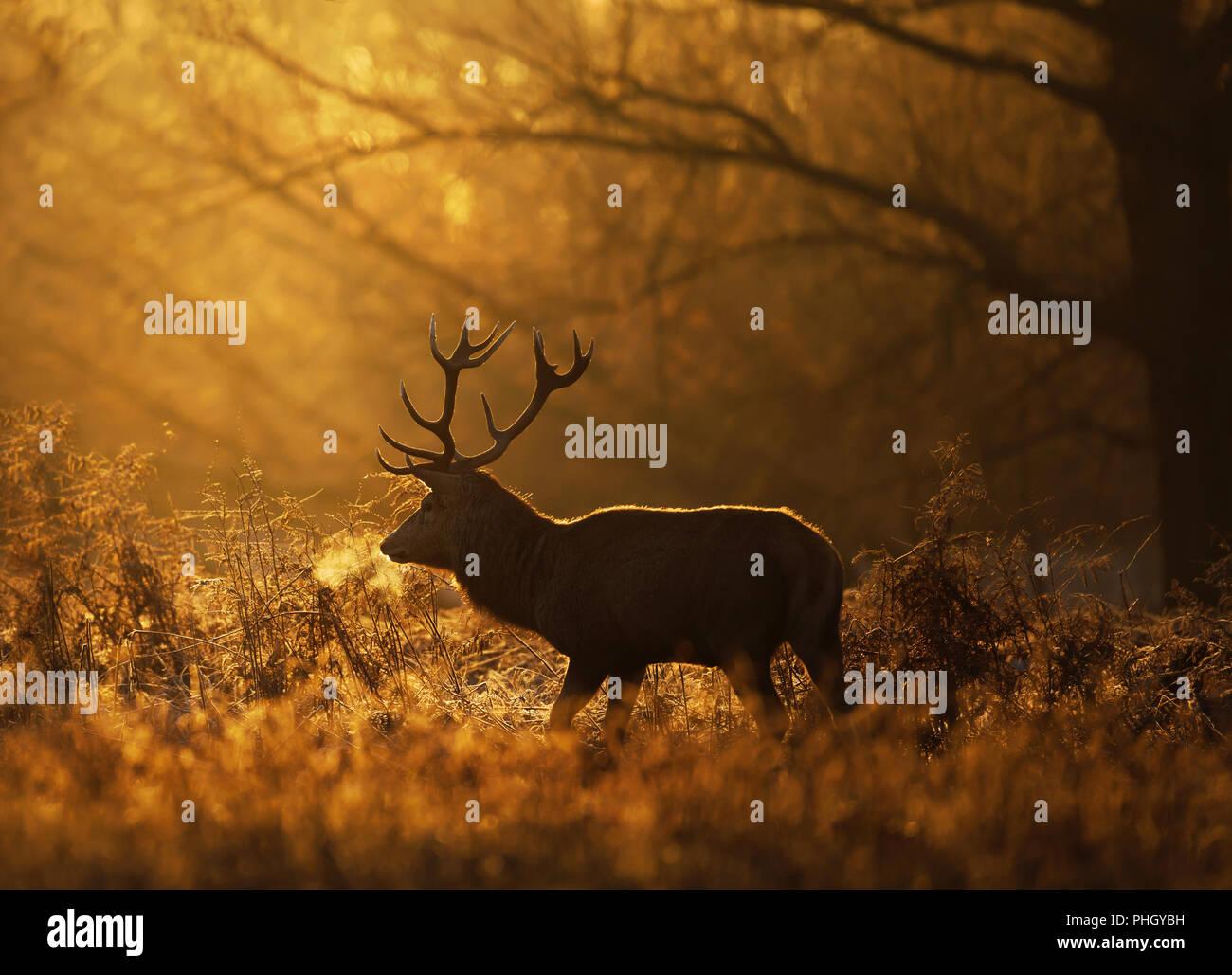 Silhouette d'un cerf rouge cerf (Cervus elaphus) avec un souffle contre soleil levant, UK. Photo Stock