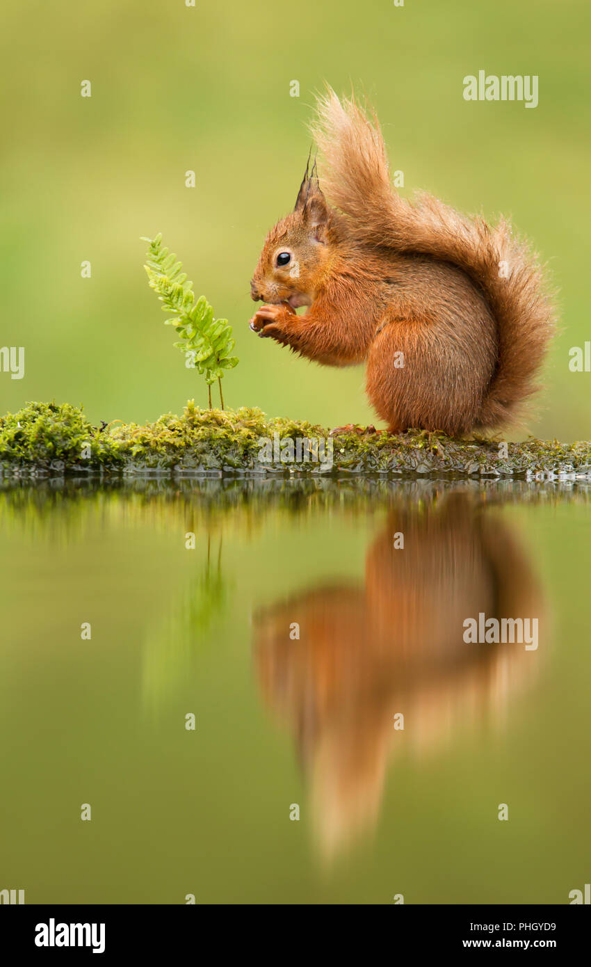 Reflet d'un écureuil roux, Sciurus vulgaris, UK. Photo Stock