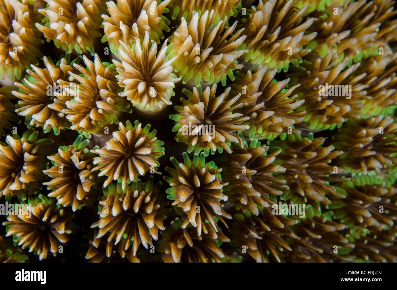 Coral, Galaxea fascicularis Galaxy, Oculinidae, Anilao, Philippines, mer des Philippines, l'océan Pacifique, l'Asie Photo Stock