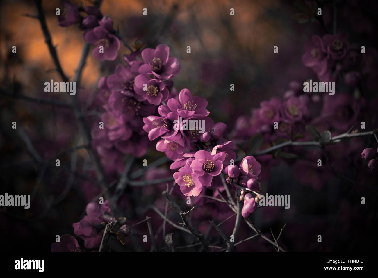Fleurs rose foncé sur bush dans l'ambiance Photo Stock