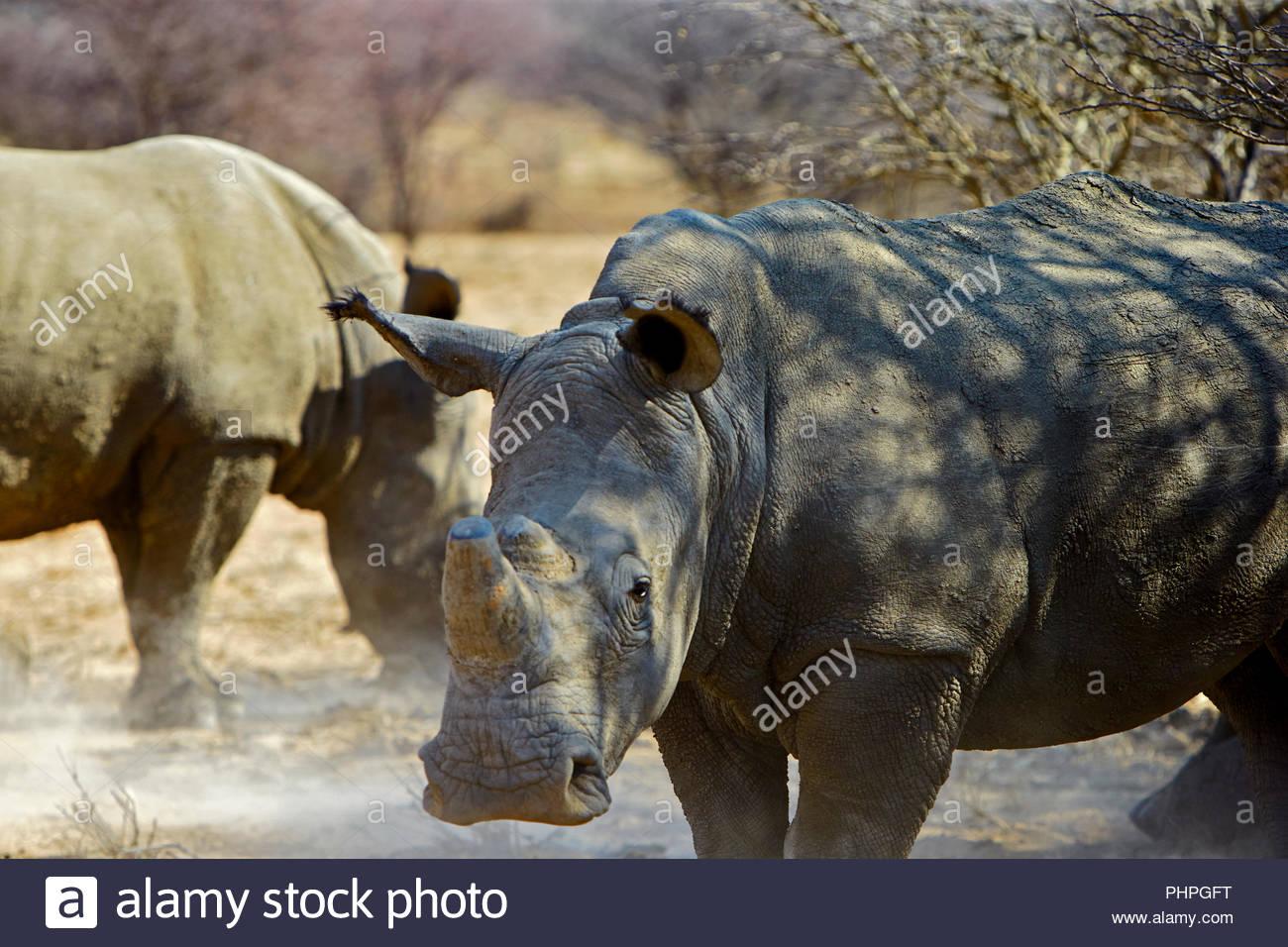 Rhinoceros en vertu de l'ombre Photo Stock