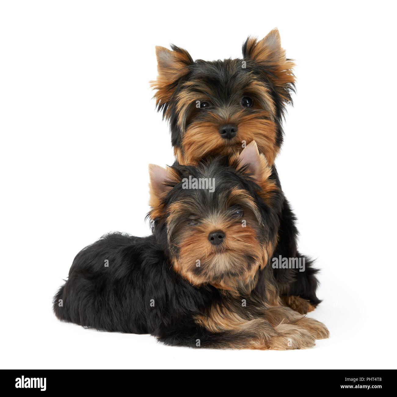 Deux Chiots Mignons Du Yorkshire Terrier Isolated On White