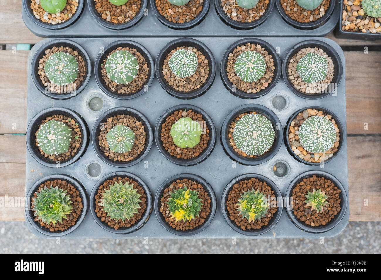 Plantes grasses sur la table en bois. Cactus en pots de plus en plus affiché sur un magasin box pour vendre au marché de l'usine de Chatuchak, Bangkok Banque D'Images