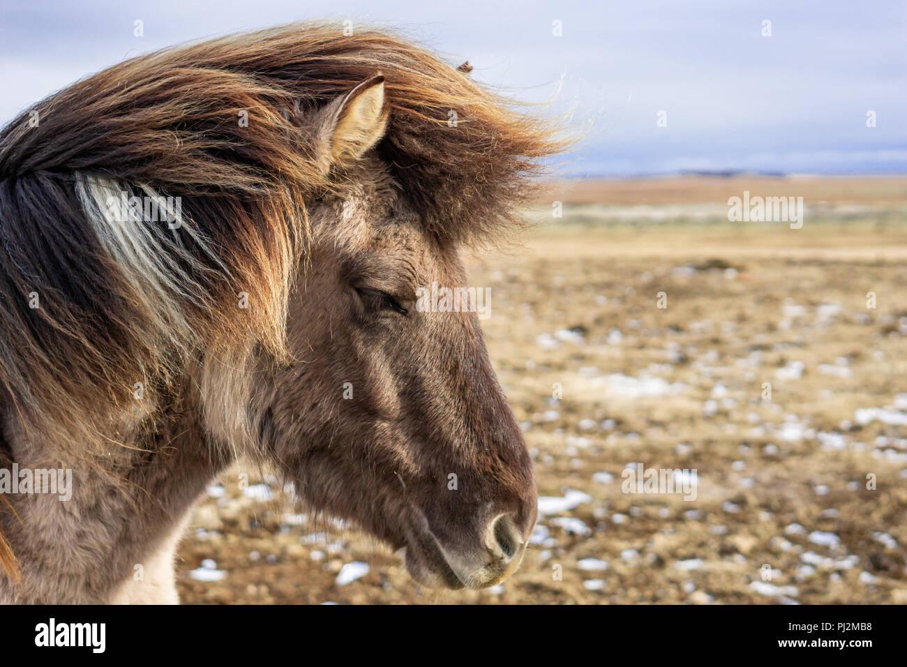 Portrait cheval islandais Banque D'Images