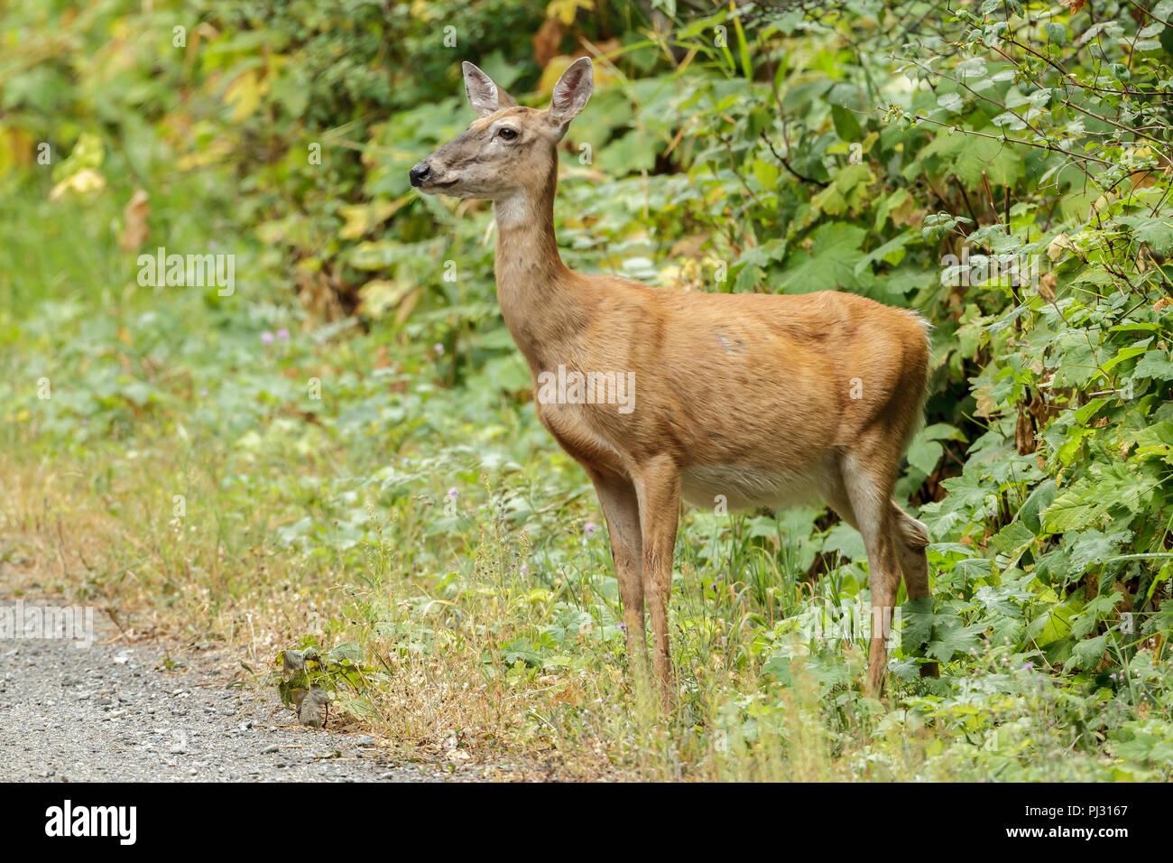 Un cerf de Virginie se distingue par une épaisse végétation près de Hauser, de l'Idaho. Photo Stock