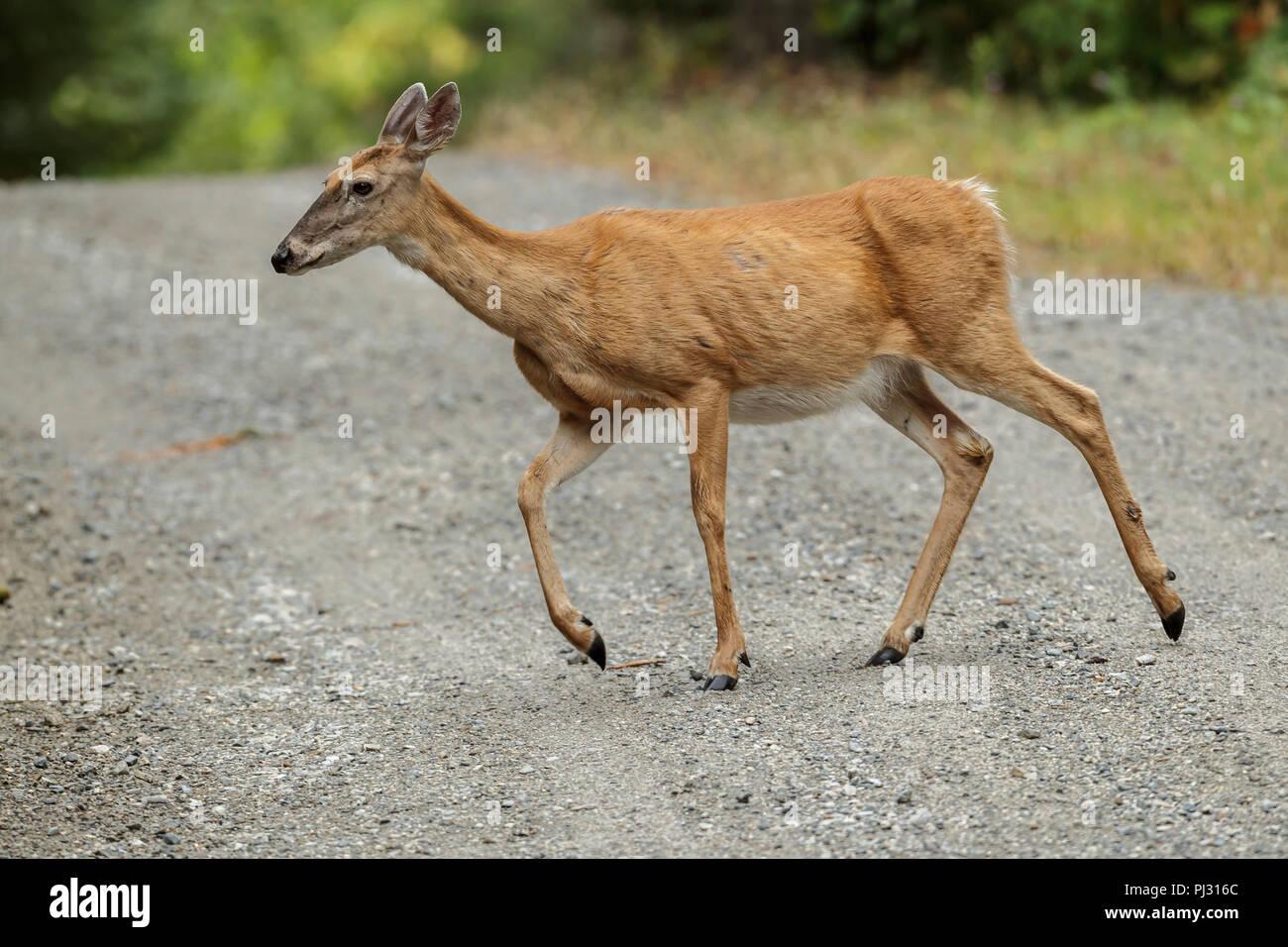 Un cerf de virginie traverse une route de gravier près de Hauser, de l'Idaho. Photo Stock