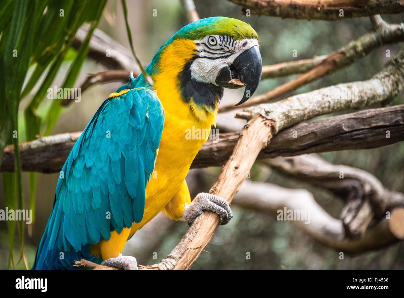Les couleurs bleu et or macaw (également connu sous le nom de blue-and-yellow macaw) à la St Augustine Alligator Farm Zoological Park à Saint Augustine, FL. (USA) Photo Stock