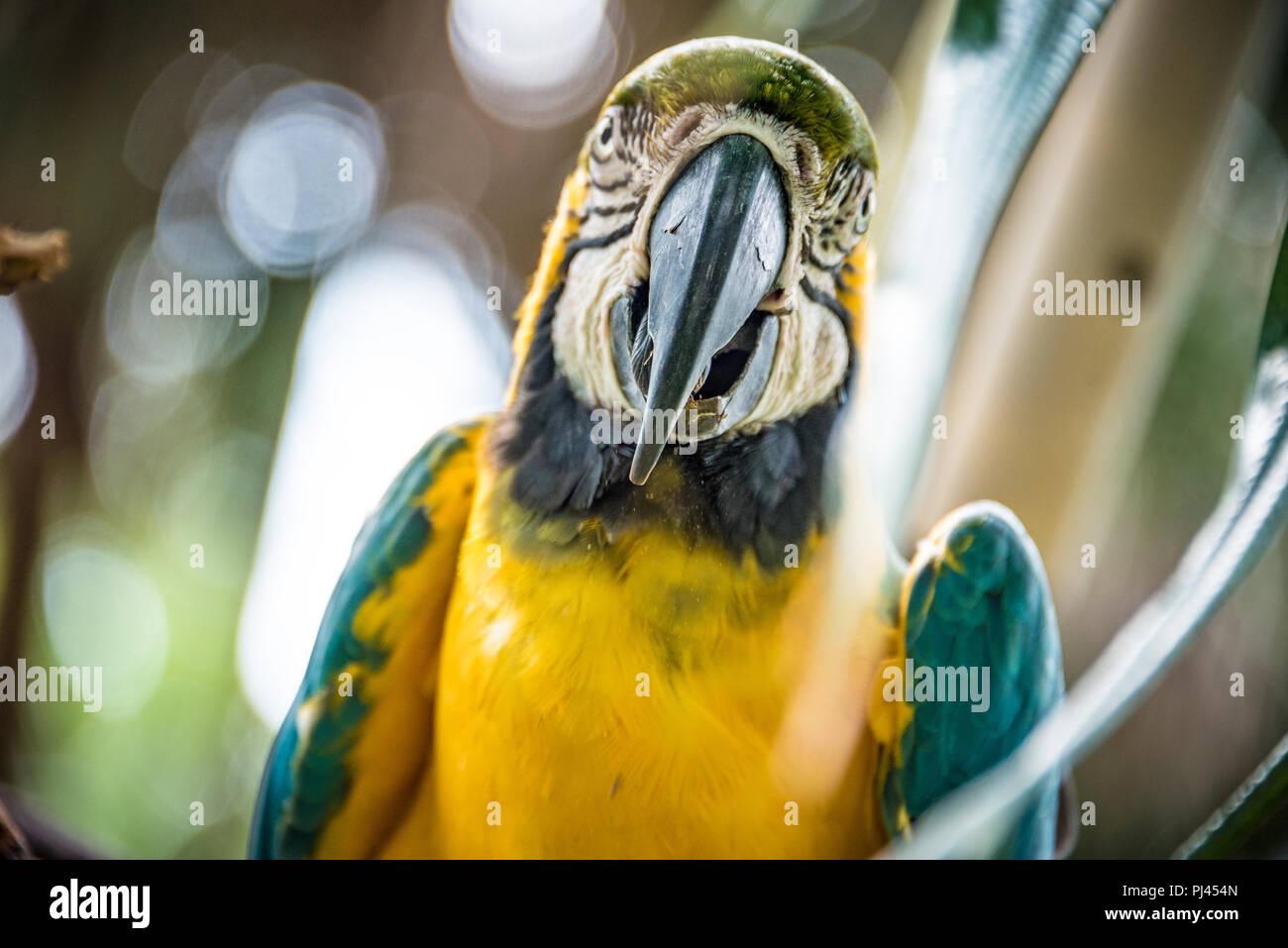 Bleu et or macaw (également connu sous le nom de blue-and-yellow macaw) à la St Augustine Alligator Farm Zoological Park à Saint Augustine, FL. (USA) Photo Stock