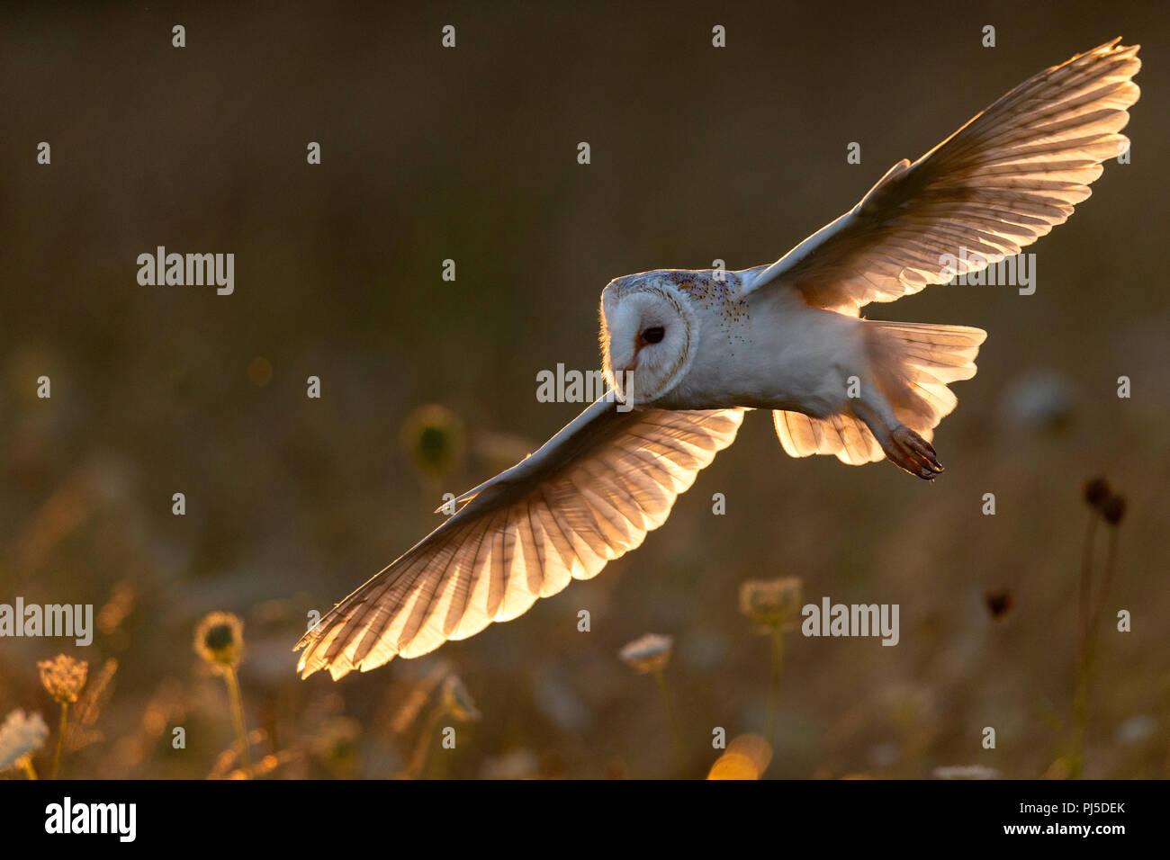 Chouette effraie en vol en début de soirée rétro-éclairé du soleil Photo Stock