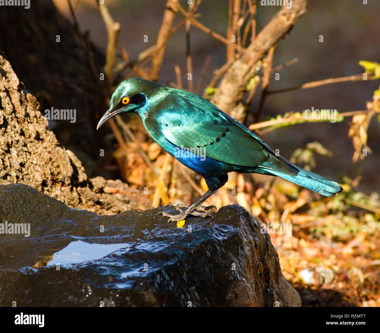 Le plumage de la plus grande irridescent Blue-eared Starling brillant n'est pas seulement spectaculaire mais aussi très populaires auprès des touristes en safari pour elle Photo Stock