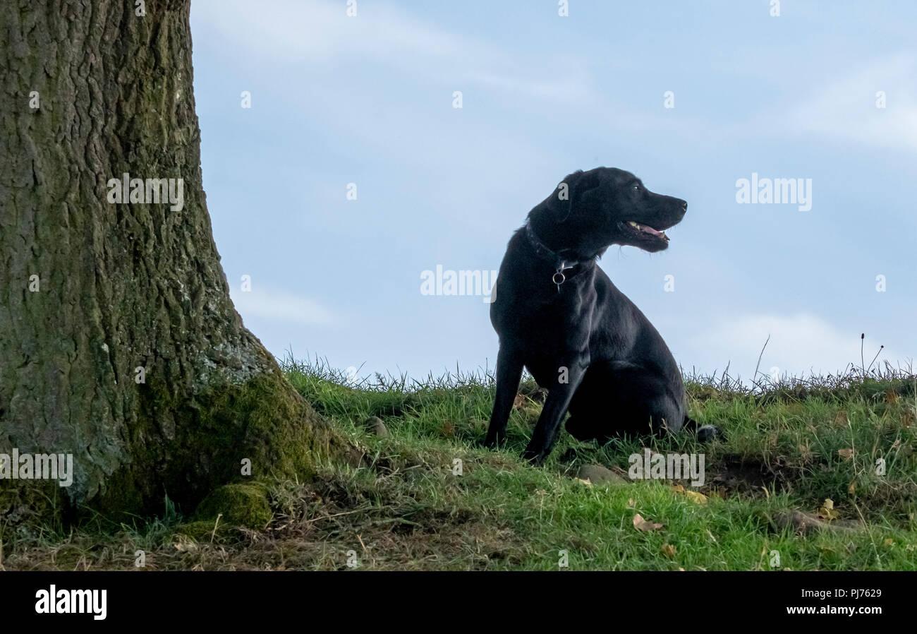 Un labrador noir assis à côté d'un grand tronc d'arbre. Le chien est à la recherche à sa gauche de l'arbre. Photo Stock