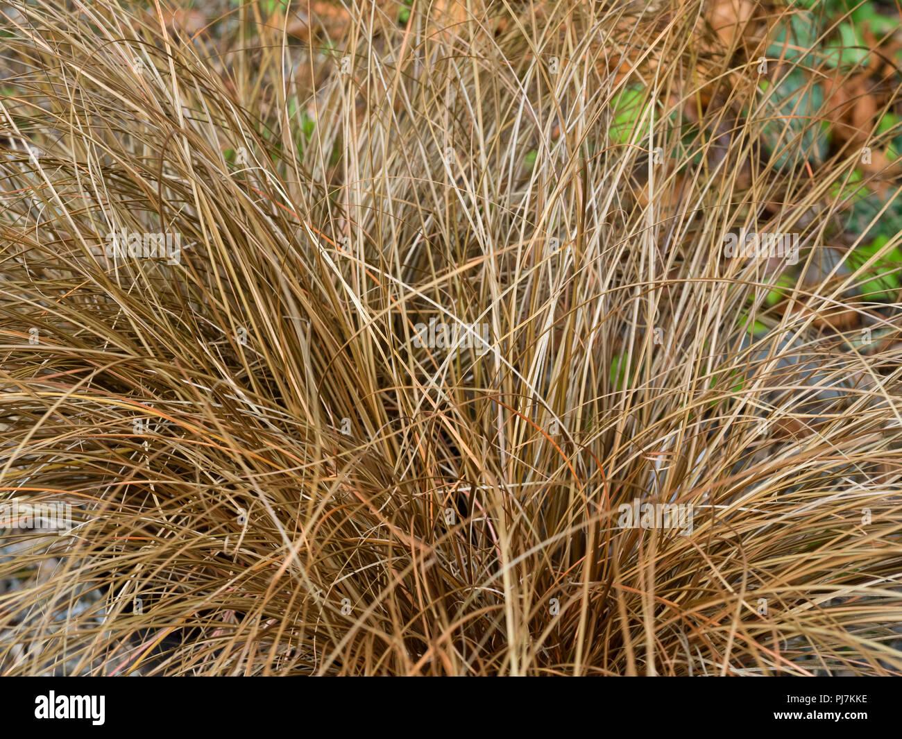 Feuillage bronze étroit de l'evergreen, mound, formant des pleurs brown carex, Cistus salviifolius Photo Stock
