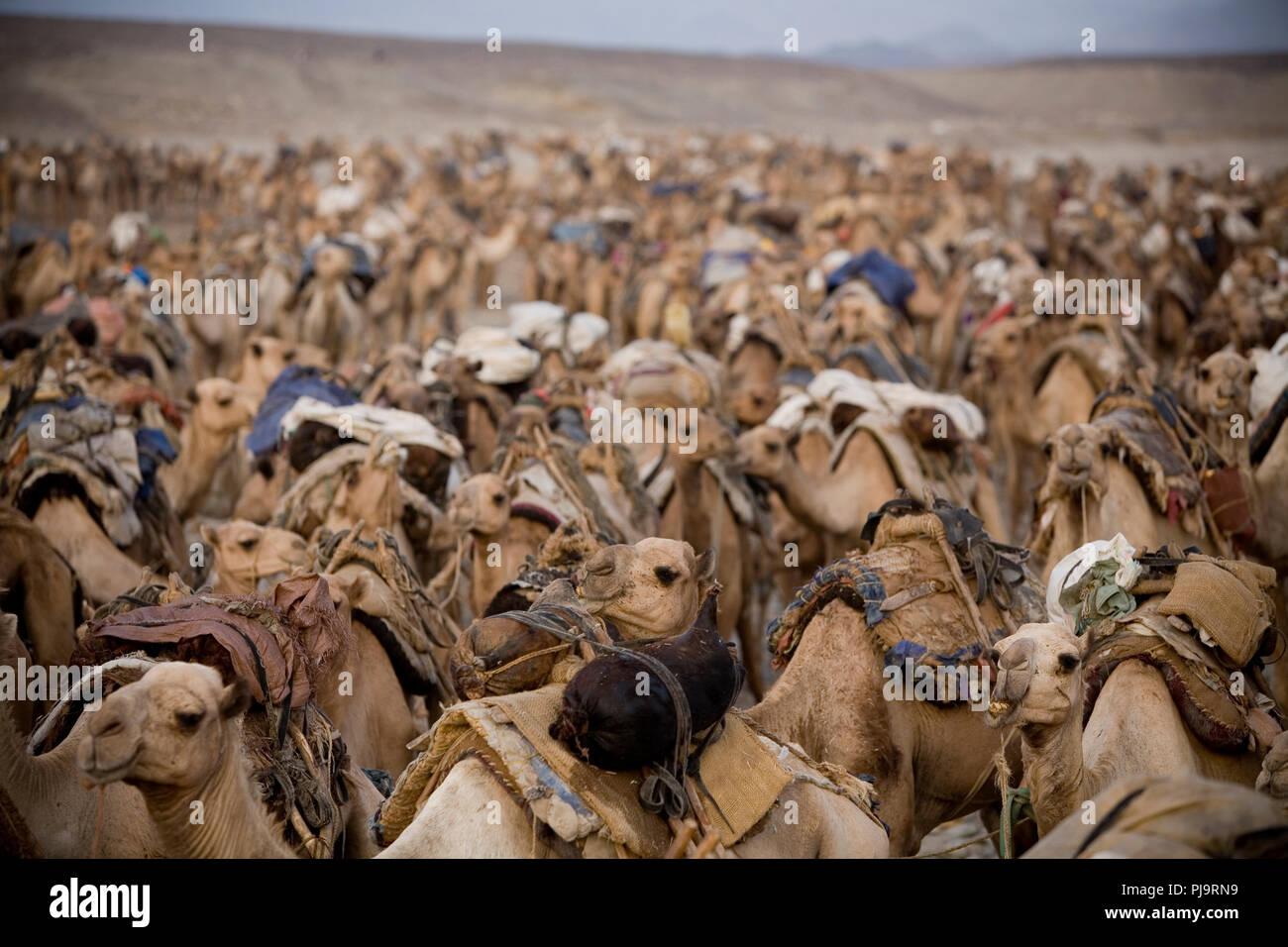 Une caravane de chameaux voyages à la dépression Danakil pour recueillir le sel, le nord de l'Ethiopie, le 3 juin 2010. Photo Stock