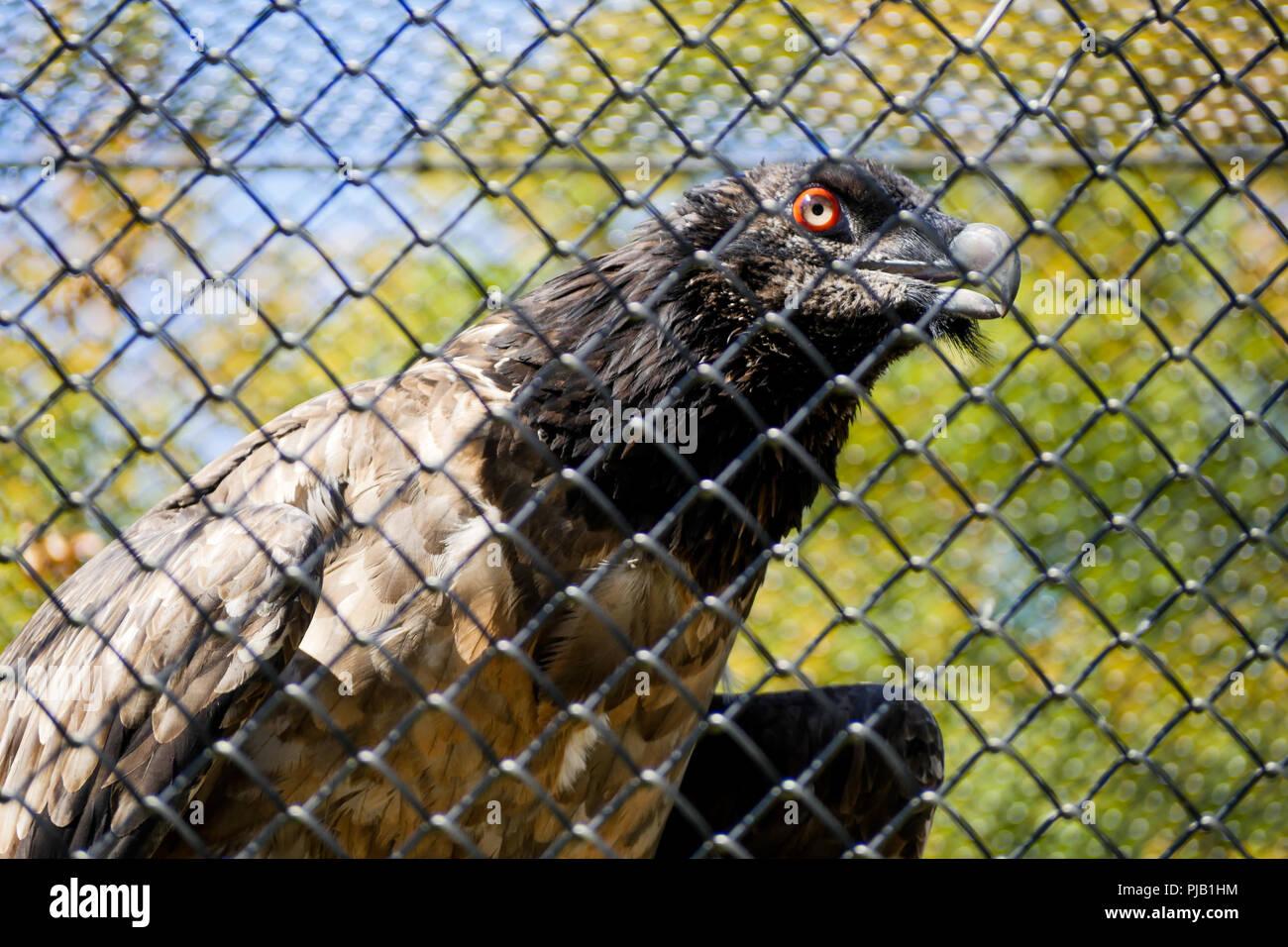 Piégé Gypaète, Parc des Oiseaux, Villars les Dombes, France Photo Stock