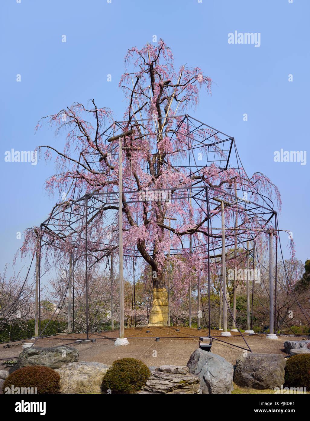 Saule Pleureur Arbre Et Cerisier En Fleurs D Un Temple Toji A Kyoto