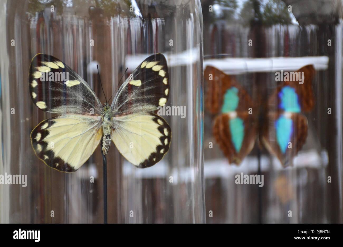 Les papillons dans une cloche transparente Banque D'Images