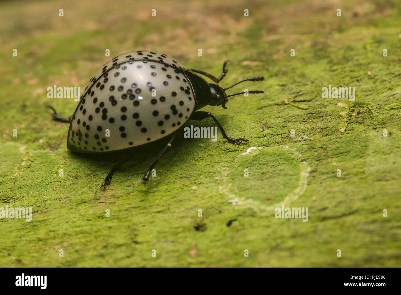Un champignon de la famille des coléoptères, Aegithus Erotylidae potentiellement burmeisteri rampant le long d'un log dans le sud du Pérou. Photo Stock