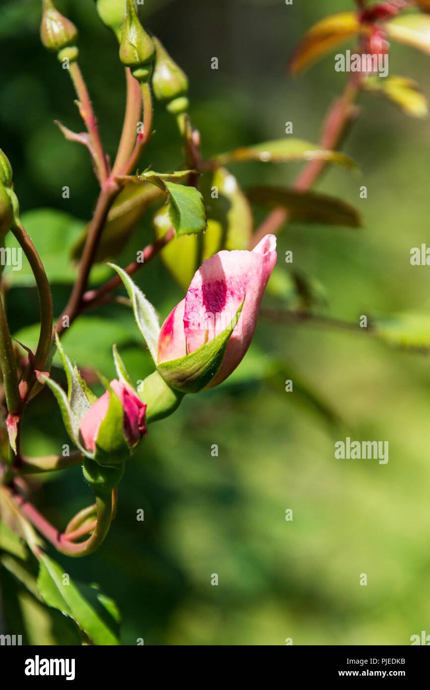 Les bourgeons d'un rosier grimpant 'The Generous Gardener' Photo Stock