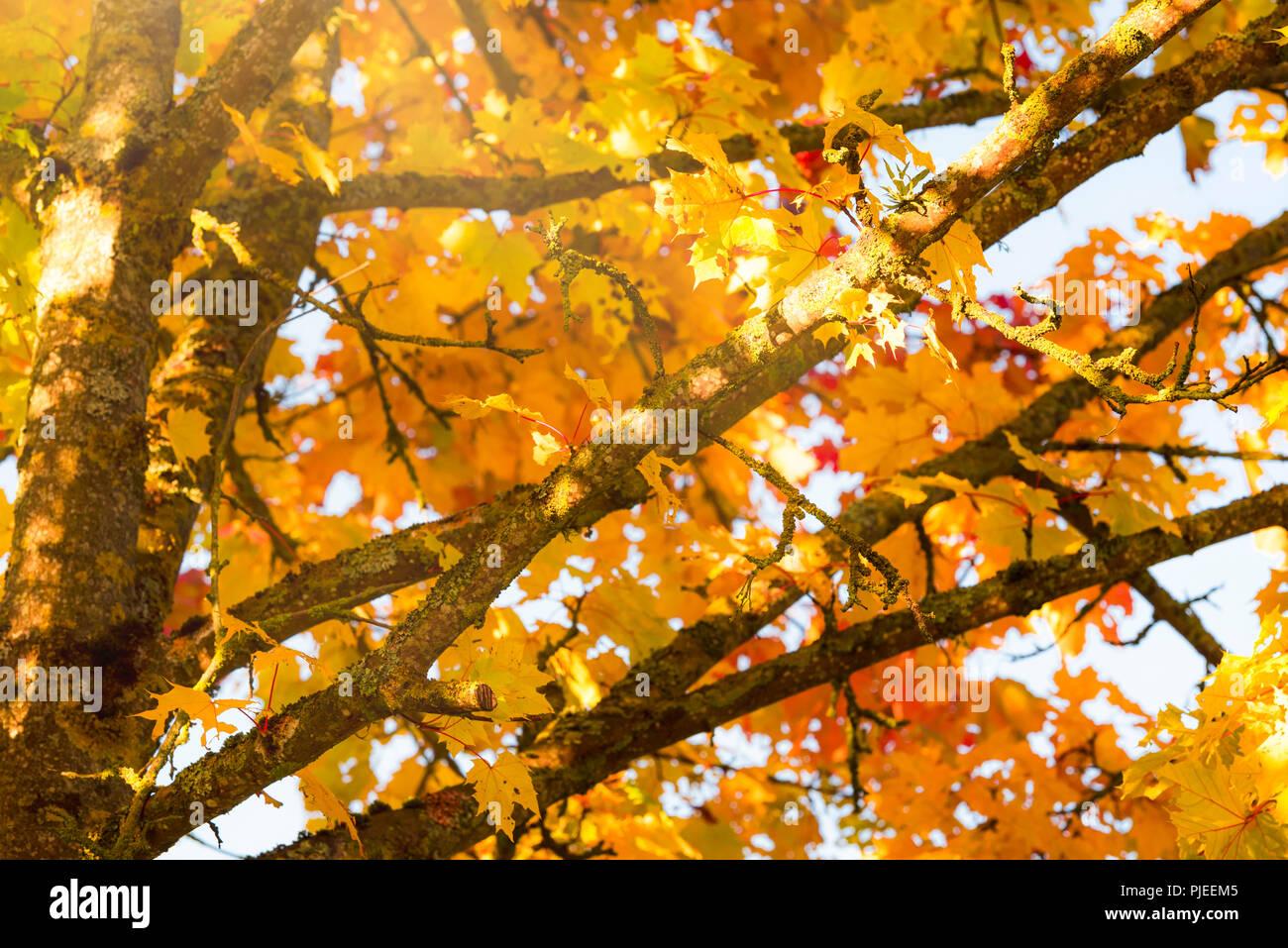 Close up image avec des branches d'arbre plein de feuilles jaunes et orange, baigné par un soleil chaud d'octobre. Un cadre ou un contexte pour l'automne des concepts. Photo Stock