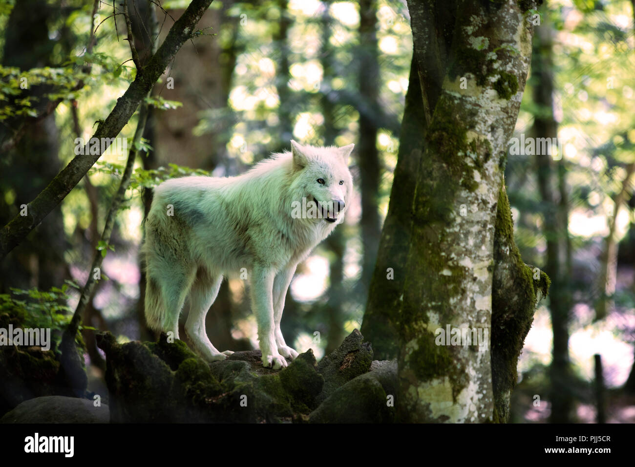 Loup Arctique En Captivite A La Maison Des Loups Reserve Naturelle D Orlu Ariege Midi Pyrenees France Photo Stock Alamy