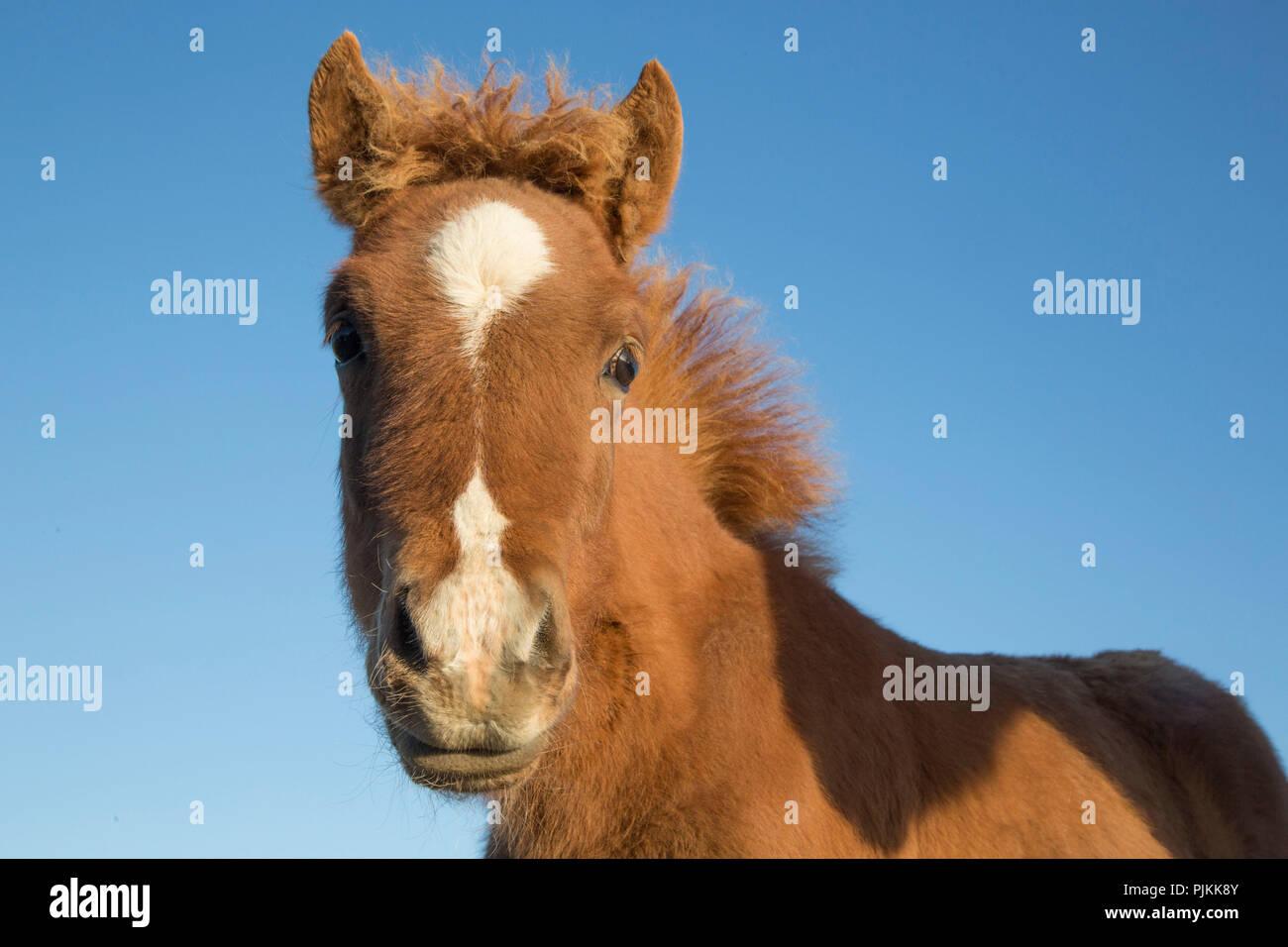 L'Islande, l'Icelandic Horse foal, brown, chauds, curieux, contre le ciel bleu Photo Stock