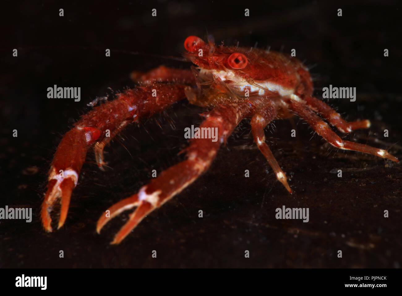 Squat lobster (balssi Galathea). Photo a été prise dans le Détroit de Lembeh, Indonésie Photo Stock