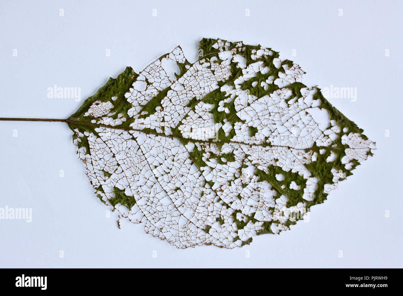 La structure squelettique d'un au cours de la sénescence foliaire devient évidente lorsque les feuilles des arbres feuillus meurent et tombent et la structure devient veine Photo Stock