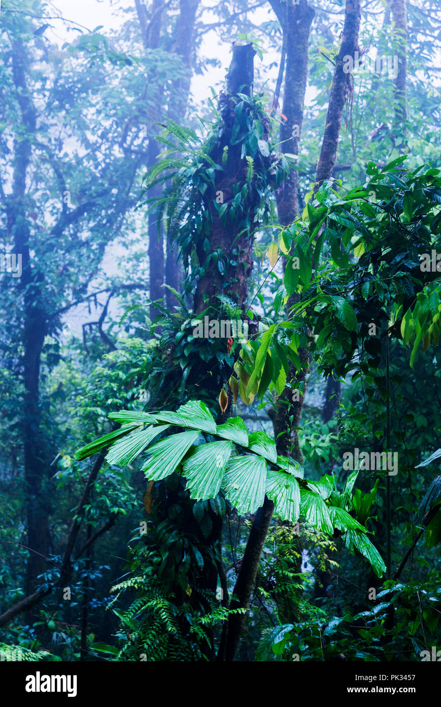 Arbres, forêt tropicale, Costa Rica Banque D'Images