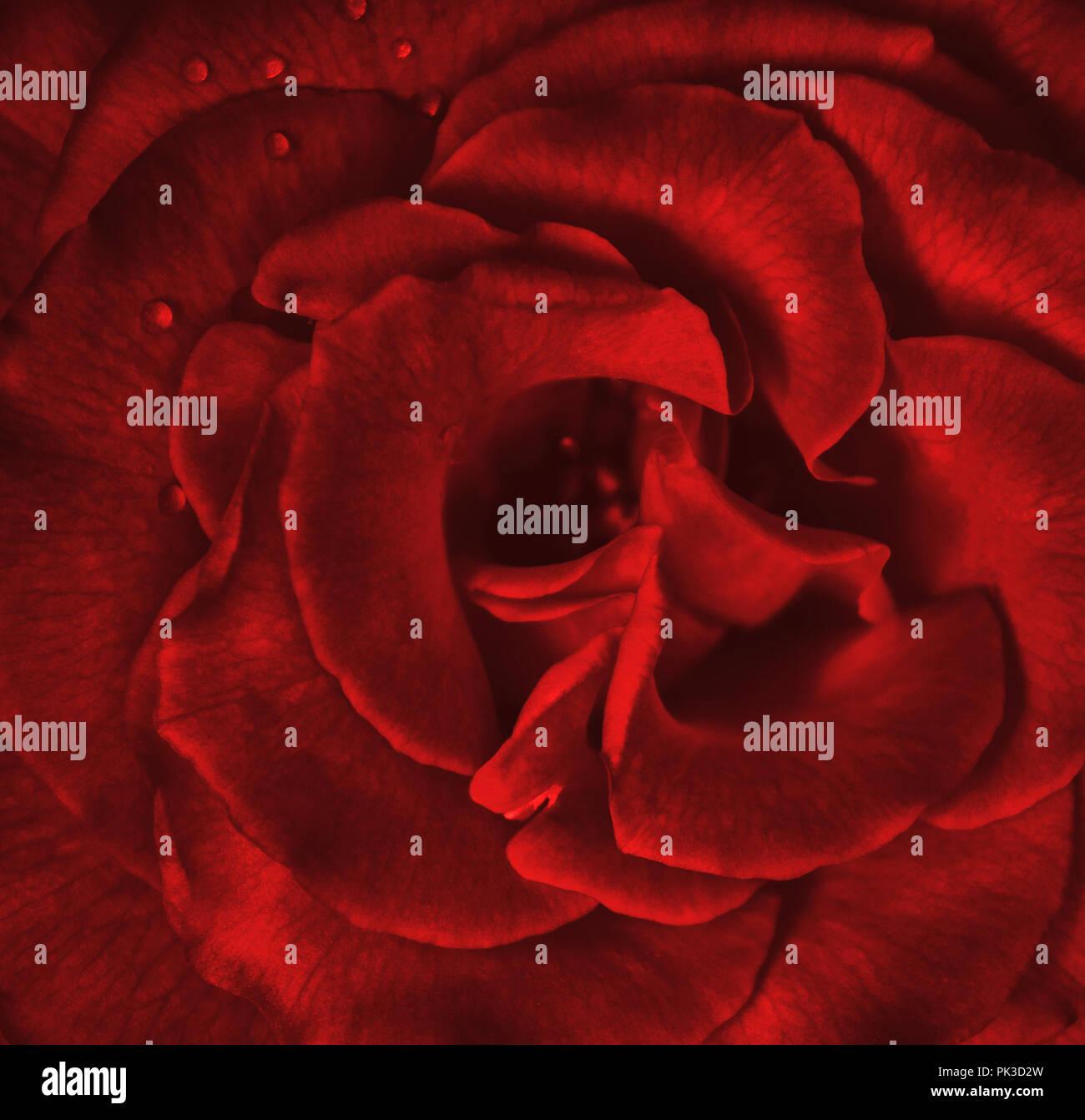 Rose Rouge Resume Rouge Rose Fond Rose Fond D Amour Arriere Plan