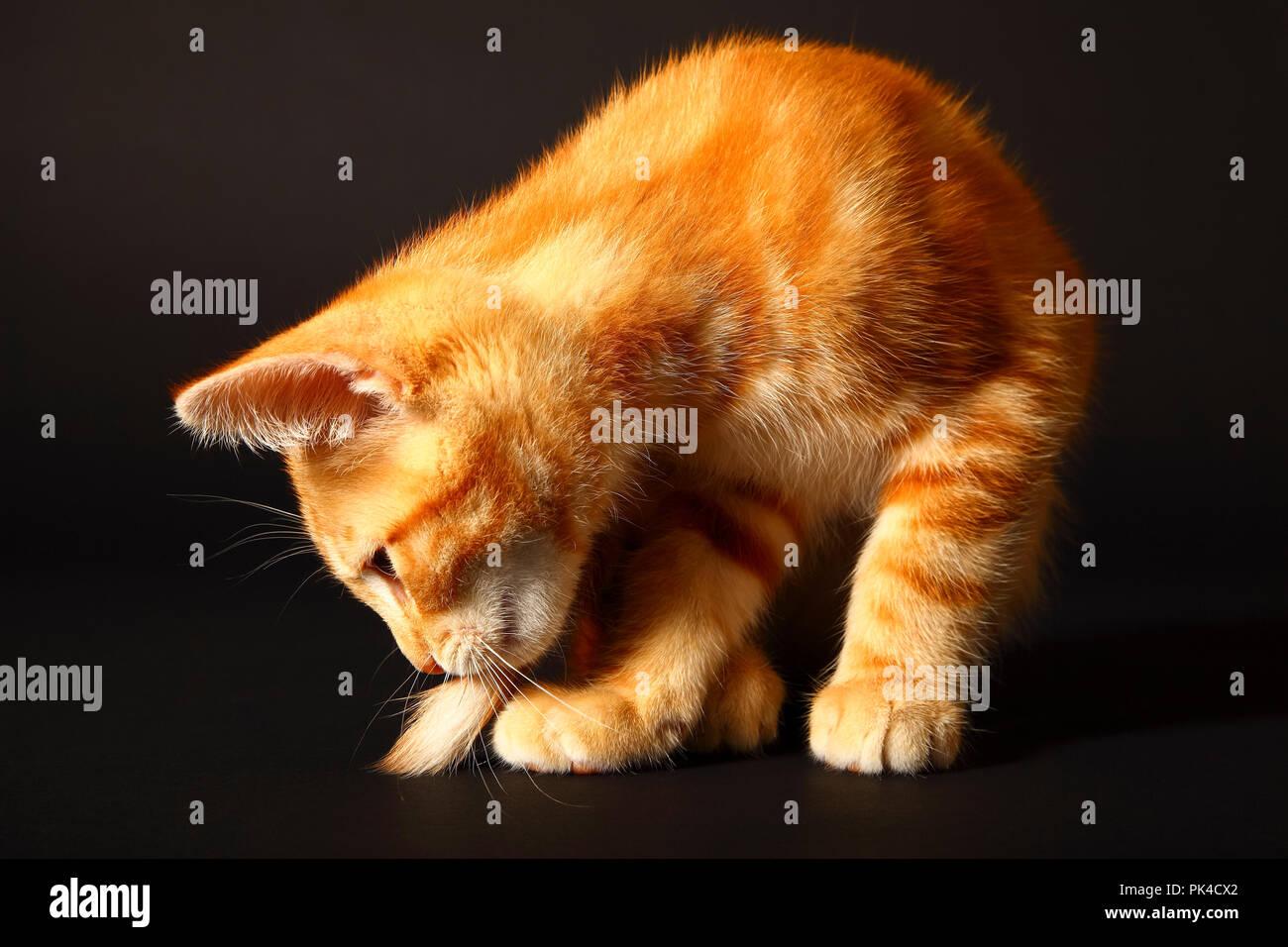 Le gingembre mackerel tabby12 semaine chaton isolé sur un fond noir Banque D'Images