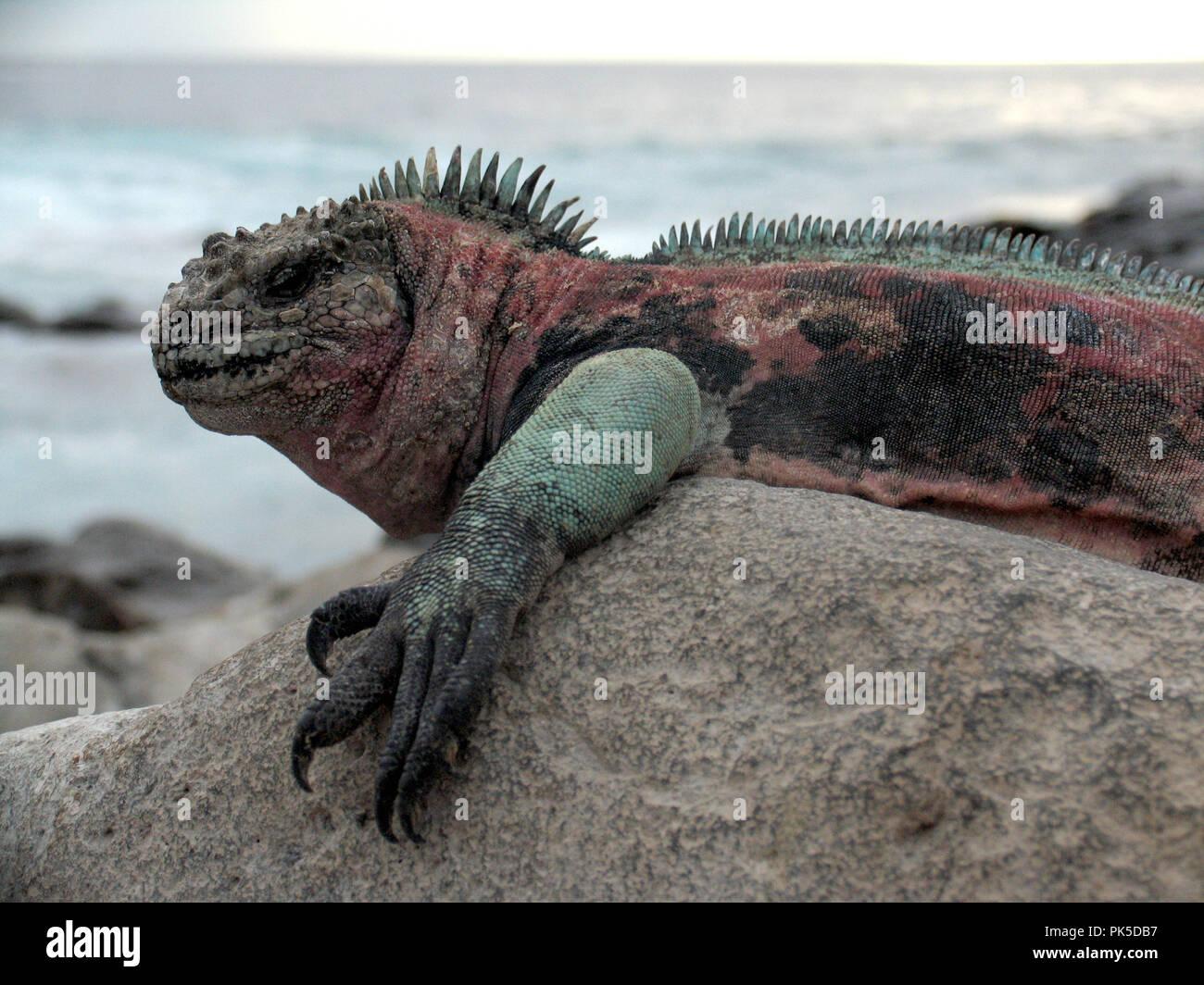 Iguane marin cristatus Ambyrhynchus‡Gal pagos îles ont développé certains des plus uniques de formes de vie sur la planète, très bien adaptés à l'hars Photo Stock