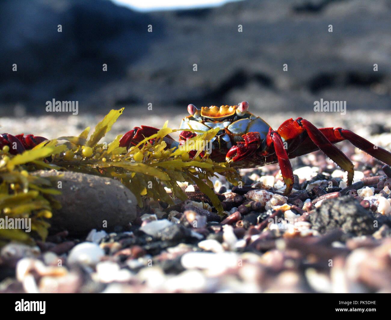 Sally Lightfoot Crab Grapsus grapsus îles Galápagos ont mis au point certains des plus uniques de formes de vie sur la planète, très bien adaptés à l'hars Photo Stock