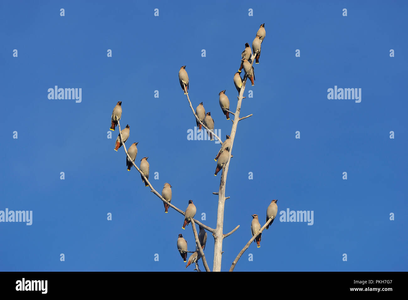 Un troupeau de Cedar waxwing oiseaux posés en-un arbre mort contre un fond de ciel bleu dans les régions rurales de l'Alberta au Canada. Photo Stock