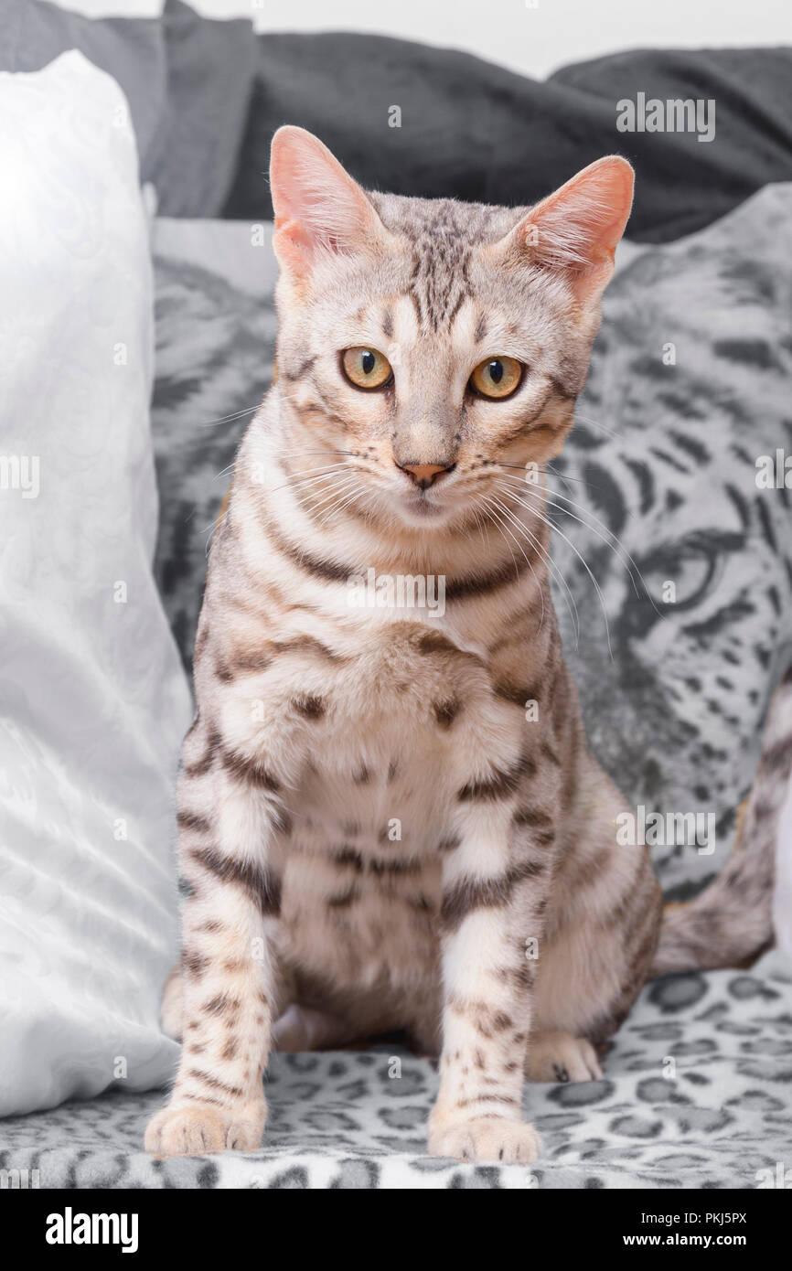Beau mâle chaton Bengal silver portrait Photo Stock
