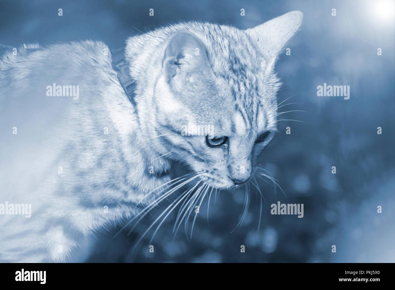 Beau mâle chaton Bengal silver portrait avec la tonalité bleu Photo Stock