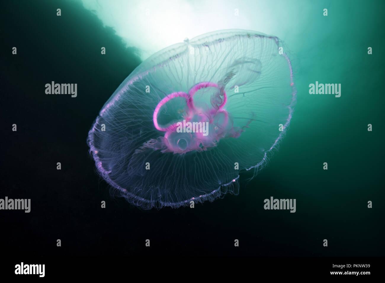 Méduse méduse de lune, lune, commune de la gelée, ou une soucoupe en gelée (Aurelia aurita) Photo Stock